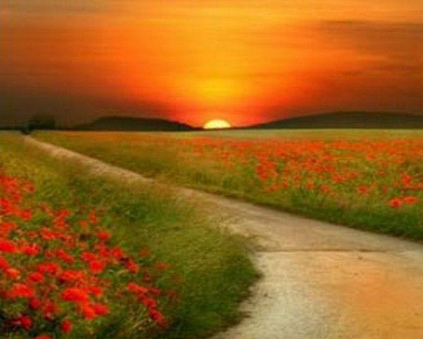 champ de fleurs rouges