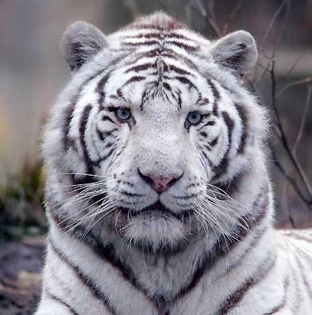 Animaux page 9 - Photo de tigre a imprimer ...